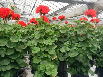 Geraniums for Buckingham Palace